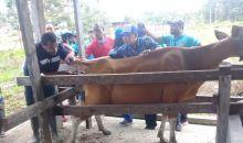 2020, Inseminasi Buatan bagi Ternak Sapi di Sorsel, Papua Barat Dikenalkan