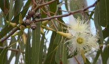 Ini Manfaat Daun Eukaliptus untuk Kesehatan Tubuh